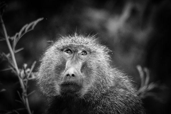 Pensive Baboon thumbnail