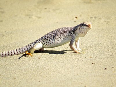 This critter soaks in the heat of a 112 degrees Fahrenheit day in Death Valley.