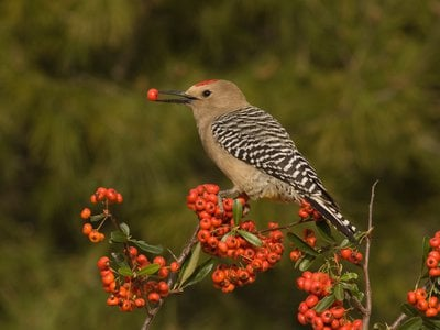 Here, a Gila woodpecker peacefully eats a pyracantha berry. But don't be fooled by appearances.