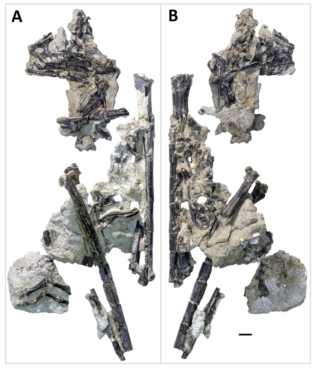 Discovery of Raptor-Like Dinosaur Adds a New Wrinkle to the Origin of Birds