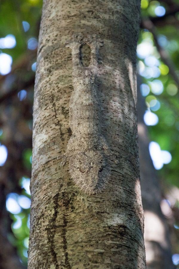 Leaf-tailed gecko thumbnail