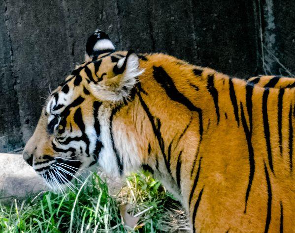 Tiger Head thumbnail