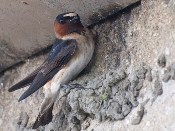 This cliff swallow has built a nest beneath a road.