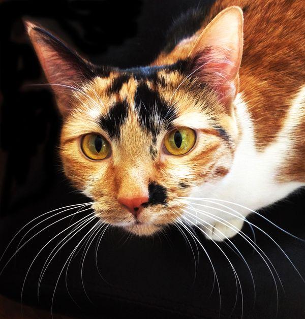 Calico Cat  thumbnail