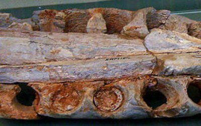 Despite being famous for its size, Spinosaurus is mostly known from fragments such as this bit of upper jaw. We don't really know how large this carnivore was.