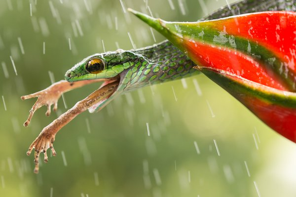 During my latest trip to Costa Rica I managed to photograph this beautiful snake in the worst of all situations (for the frog of course).Rain added some drama to the scene while I had a hard time tr thumbnail