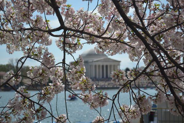 Jefferson through the Cherry Blossoms thumbnail