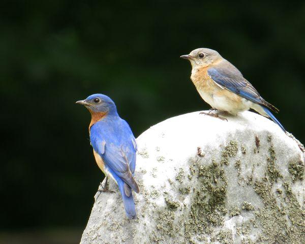 Eastern Bluebirds thumbnail