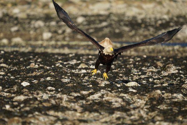 The eagle is landing thumbnail