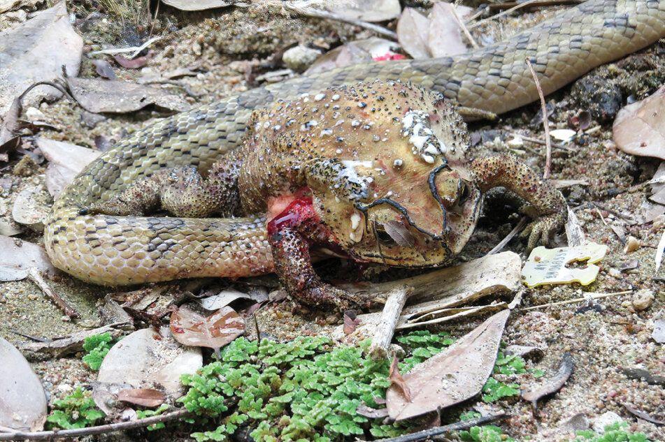 Kukri snake eating toad