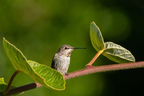 Hummingbird between leaves. thumbnail