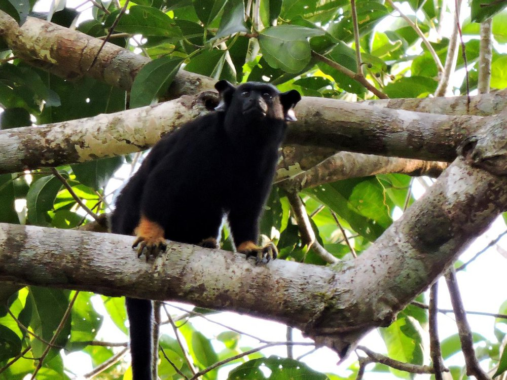 a photograph of a Red-handed tamarin monkey in a tree. The primate has black fur covering most of its body. The primates hands and feet are covered in orange reddish fur.