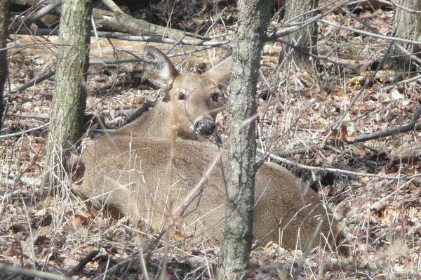 A doe laying down in the woods. thumbnail
