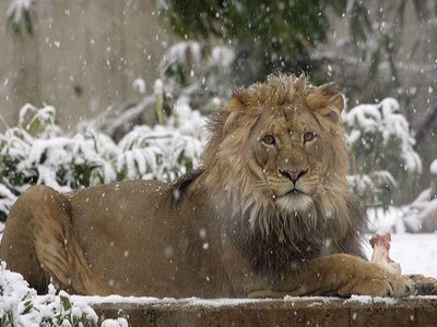 An African lion enjoying an afternoon snack in the falling snow of 2012 at the National Zoo.