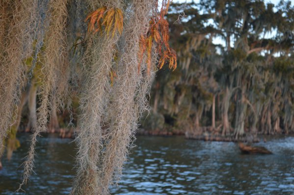 Spanish Moss dancing in the winter winds of Louisiana swampland. thumbnail