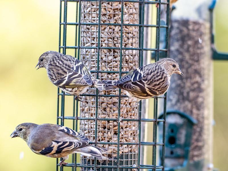 Three pine siskins sit on a green wire birdfeeder filled with seeds
