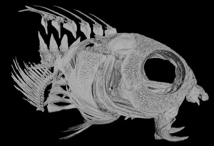 These Tropical Fish Have Opioids in Their Fangs