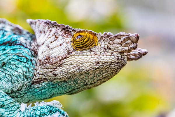 Parson's chameleon looking up thumbnail