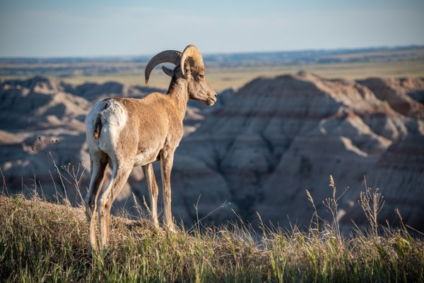 Bighorn Sheep Overlooking Badlands National Park thumbnail