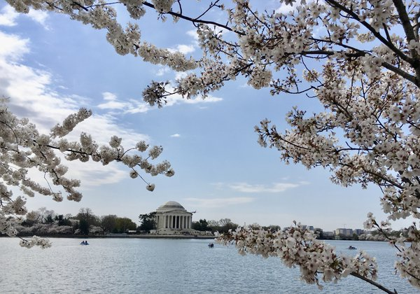 Jefferson Memorial with Cherry Blossoms thumbnail