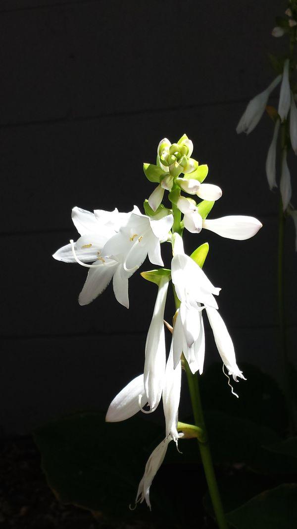 Hosta Flower in my Garden thumbnail
