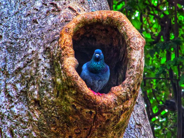 A pigeon in its hole in a tree. thumbnail