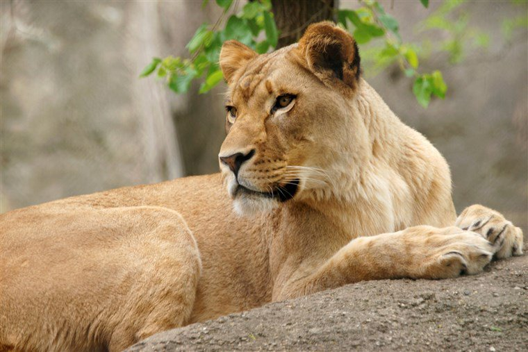 A Lioness Killed the Father of Her Cubs in Rare Attack at Indianapolis Zoo