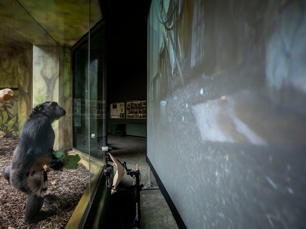 A Chimpanzee watches a live-stream on a screen set up in an enclosure at the Safari Park on March 19, 2021 in Dvur Kralove nad Labem, Czech Republic