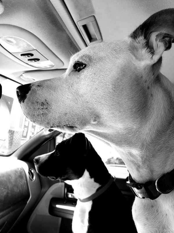 Two Pitbulls waiting for their 2 favorite Vet Techs thumbnail