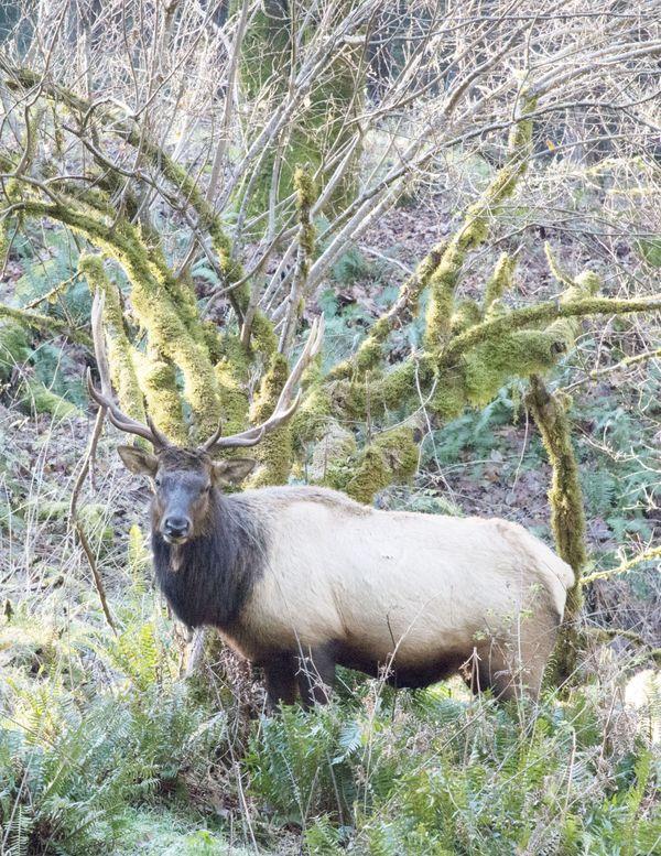 NW Elk 1: Cascades NW Trek Elk herd - Antlers and branches thumbnail