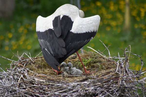 stork spreads its wings protects chicks from the sun thumbnail