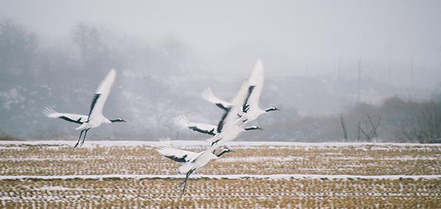 Red crowned cranes flying