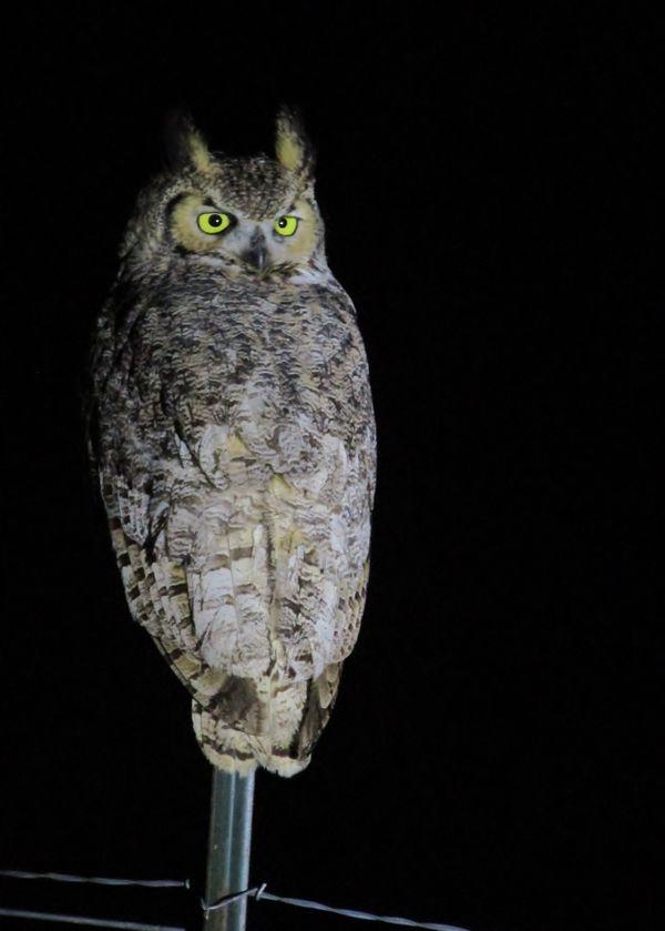 Wary Owl thumbnail
