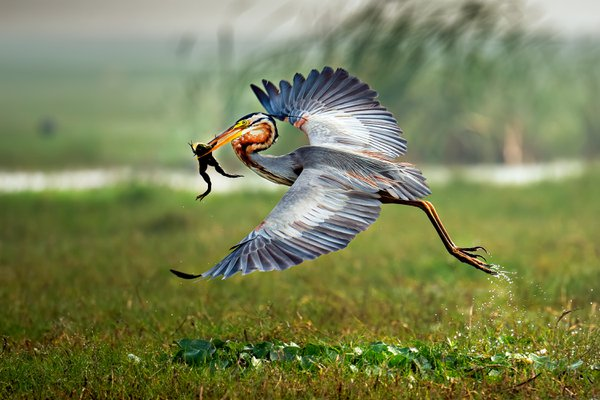Purple Heron flew away with hunted Frog thumbnail