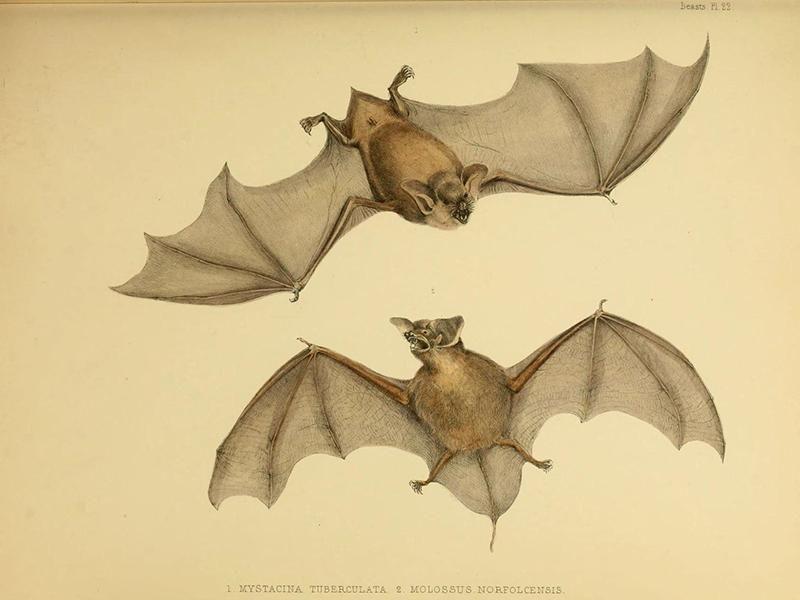 Mystacina tuberculata sketch