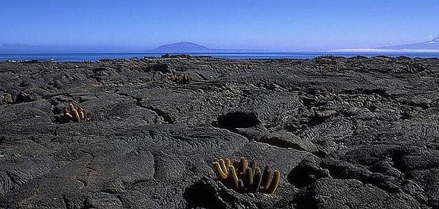 Lava cactus on Fernandina Island