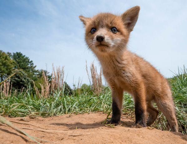 Red Fox Kit thumbnail