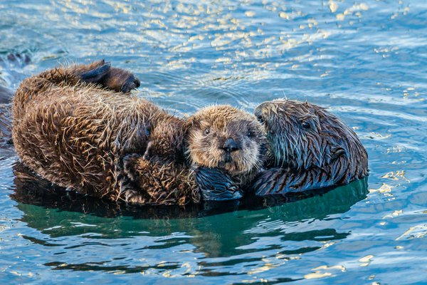 Sea otter mother with pup. thumbnail