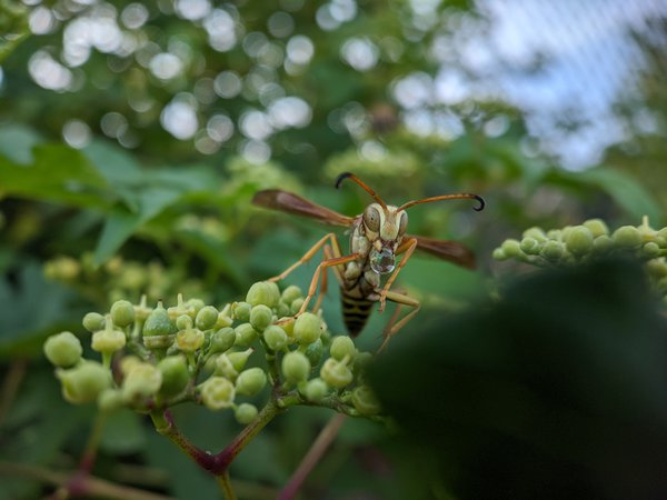 A Golden Paper Wasp bubbling at the mouth. thumbnail