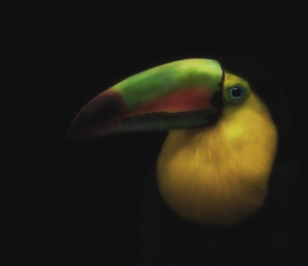 A Toucan on black. thumbnail