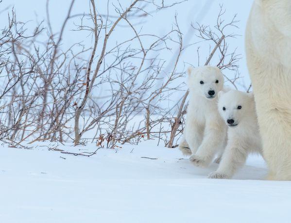 Polar Bear Cubs thumbnail