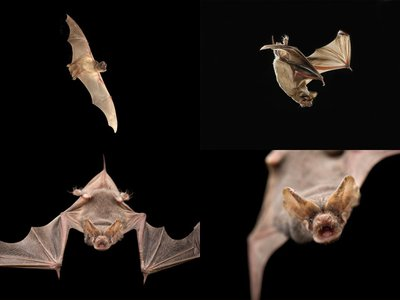 A large colony of Mexican free-tailed bats can consume an estimated 250 tons of insects in a single night.
