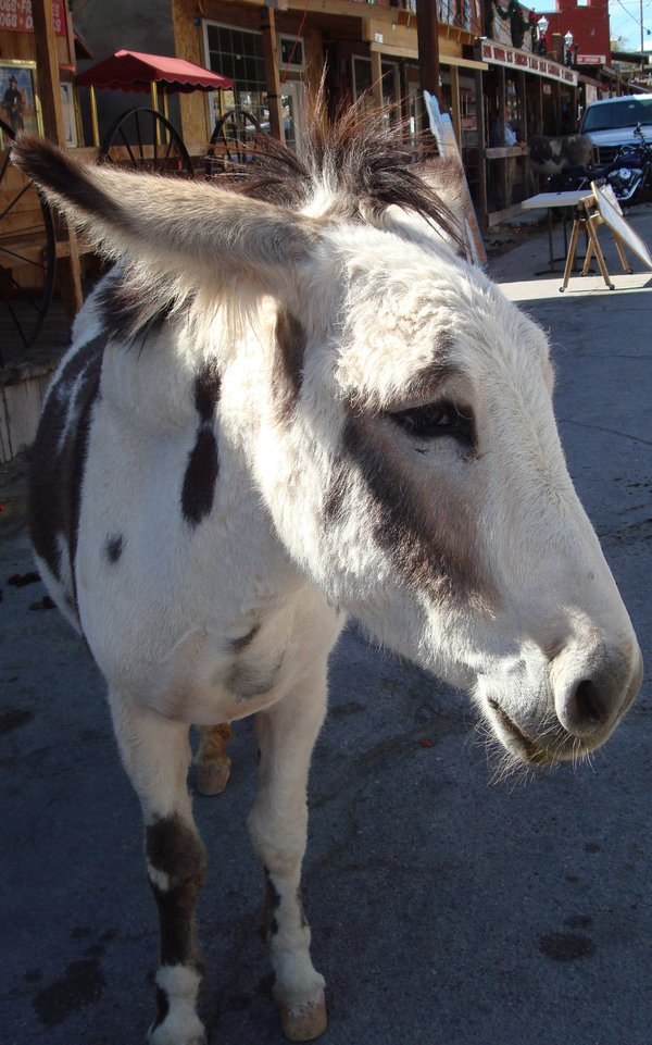 Ancestor of the original Oatman Arizona burros thumbnail