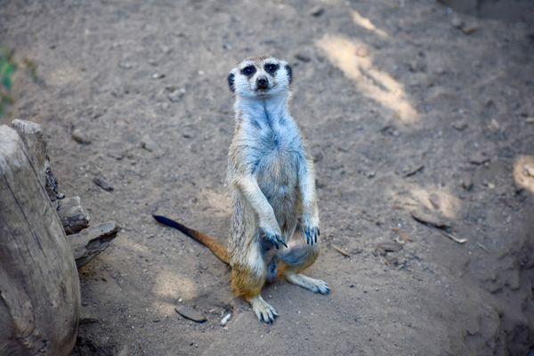 A Curious Meerkat thumbnail