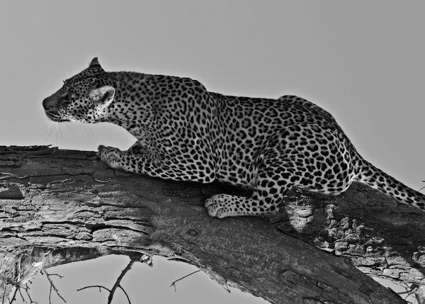 Leopard thumbnail