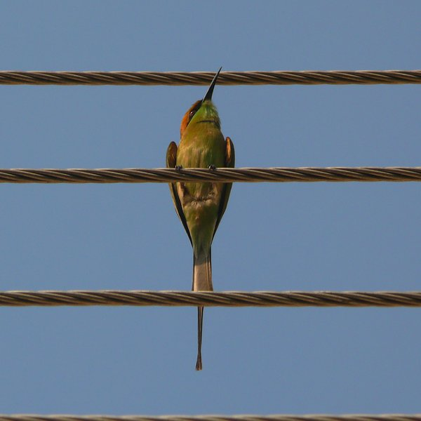 A bird sitting on electric wires. thumbnail