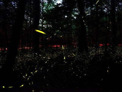 Synchronous fireflies put on a show each spring in the Great Smoky Mountains. Photinus carolinus is the only firefly species in the U.S. that flashes in unison.