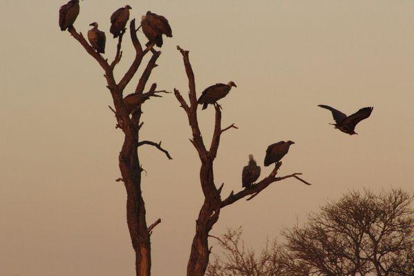 Vulture Tree at Dawn thumbnail