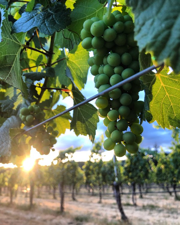 Pinot Gris grapes hanging in the sunlight thumbnail
