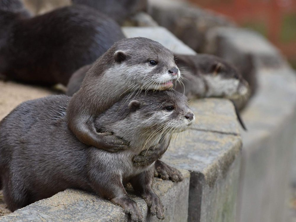 Two otters sit on a rock wall; one has its arms wrapped around the other and leans its head on top of the other's head